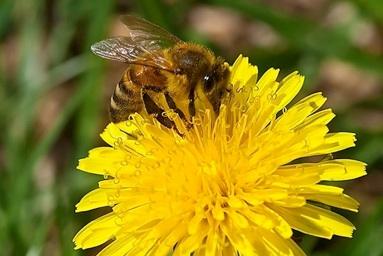 miele di tarassaco proprietà, benefici e utilizzo