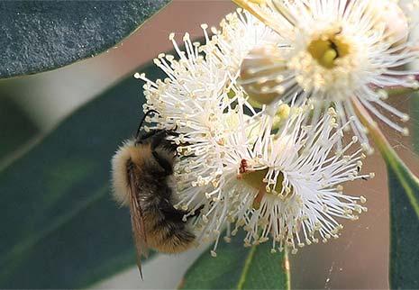 Miele di eucalipto: proprietà e benefici. Dove comprarlo