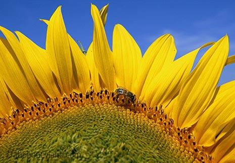 Miele di girasole: proprietà, benefici ed utilizzo